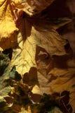 Hojas de otoño secas. Imágenes de archivo libres de regalías