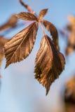 Hojas de otoño secas Foto de archivo libre de regalías