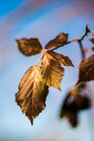 Hojas de otoño secas Foto de archivo
