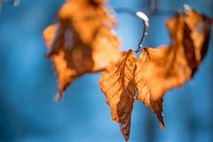 Hojas de otoño secas Imagen de archivo libre de regalías