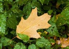 Hojas de otoño sobre fondo de madera Imagenes de archivo