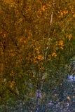 hojas de otoño de un abedul en un árbol Imagen de archivo