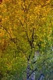 hojas de otoño de un abedul en un árbol Imágenes de archivo libres de regalías