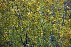 hojas de otoño de un abedul en un árbol Fotografía de archivo