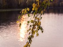 Hojas de otoño de un abedul en el fondo rosado de la puesta del sol Foto de archivo libre de regalías