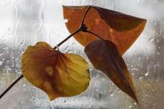 Hojas de otoño de una lila fotos de archivo libres de regalías