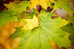 Hojas de otoño verdes y amarillas imágenes de archivo libres de regalías