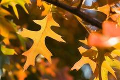 Hojas de otoño vibrantes Foto de archivo libre de regalías