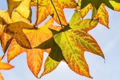 Hojas de otoño y cielo azul hermoso imagen de archivo libre de regalías