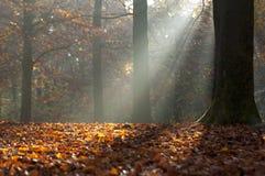 Hojas de otoño y rayos ligeros en bosque otoñal Fotografía de archivo