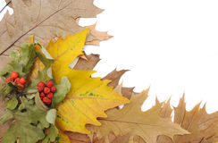 Hojas de otoño y serbal. imagen de archivo