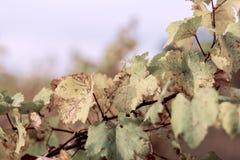 Hojas de oto?o de uvas Cielo azul y vid en la caída Vi?edo del oto?o Foco suave Imagen entonada foto de archivo libre de regalías