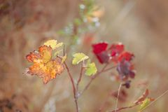 Hojas de oto?o de uvas Vi?edo del oto?o Foco suave Imagen entonada primer fotos de archivo libres de regalías