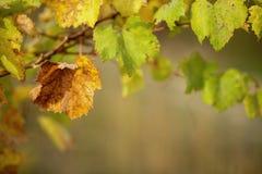 Hojas de oto?o de uvas Vid en la caída Vi?edo del oto?o Foco suave Copie el espacio fotografía de archivo libre de regalías