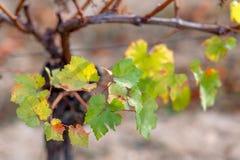 Hojas de oto?o de uvas Vid en la caída Vi?edo del oto?o Foco suave Copie el espacio primer fotos de archivo libres de regalías