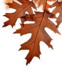 Hojas de otoño del árbol de roble Fotos de archivo