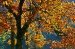 Hojas de otoño, Yosemite Foto de archivo