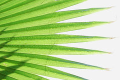 Hojas de palma Imagen de archivo libre de regalías