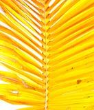 Hojas de palma amarillas Fotos de archivo libres de regalías