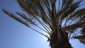 Hojas de palma californianas que agitan en el viento contra un cielo azul Visi?n inferior D?a asoleado brillante Santa M?nica metrajes