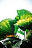 Hojas de palma con el fondo blanco del cielo Fotografía de archivo libre de regalías
