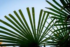 Hojas de palma contra el cielo Un símbolo del resto y del día de fiesta Foto de archivo
