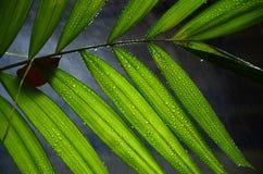 Hojas de palma del betel Fotos de archivo