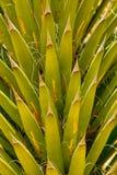 Hojas de palma del cactus Fotos de archivo libres de regalías