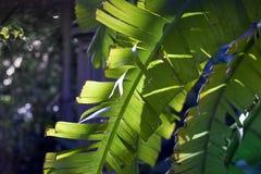 Hojas de palma del plátano Fotografía de archivo