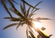 Hojas de palma en la sol con el rayo de sol Fotografía de archivo libre de regalías