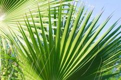 Hojas de palma hermosas Imagen de archivo libre de regalías
