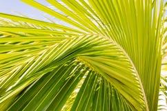 Hojas de palma hermosas del palmtree en luz del sol Imagenes de archivo