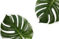 Hojas de palma tropicales Fotos de archivo