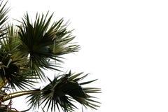 Hojas de palma tropicales en el fondo aislado blanco fotografía de archivo libre de regalías