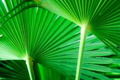 Hojas de palma verdes Fotos de archivo libres de regalías