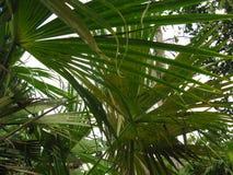 Hojas de palma verdes Fotografía de archivo