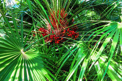 Hojas de palma verdes con la fruta roja en la sol Foto de archivo libre de regalías