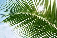 Hojas de palma verdes en la sol con el rayo de sol Imagen de archivo libre de regalías