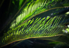 Hojas de palma verdes frescas en la sol Fotos de archivo