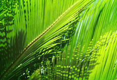 Hojas de palma verdes frescas en la sol Foto de archivo