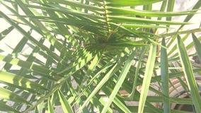 Hojas de palma verdes