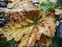 Hojas de plantas de vid con colores del otoño fotografía de archivo libre de regalías
