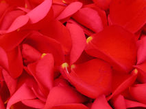 Hojas de Rose Fotografía de archivo