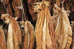 Hojas de sequía del tabaco fotografía de archivo