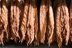 Hojas de sequía del tabaco foto de archivo libre de regalías