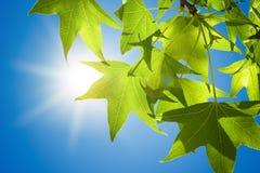 Hojas de Sweetgum en rama contra el cielo azul Imagenes de archivo