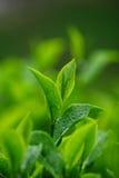Hojas de té Fotos de archivo libres de regalías