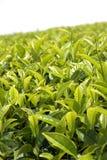 Hojas de té Fotografía de archivo libre de regalías
