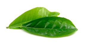 Hojas de té Foto de archivo libre de regalías