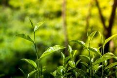 Hojas de té blandas y verdes en tiempo de la tarde del día de invierno imágenes de archivo libres de regalías